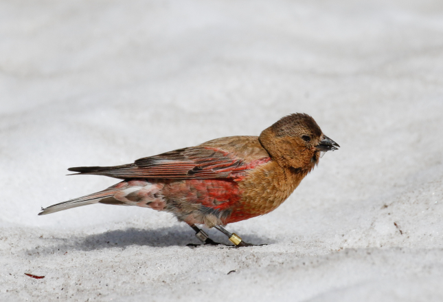 Black-capped Rosy Finch Banded Bird on Snow
